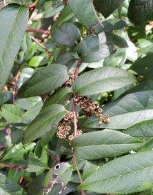Dog Hobble (Leucothoe fontanesiana) Old Fruit