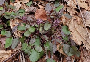Golden Ragwort (Packera aurea) Buds