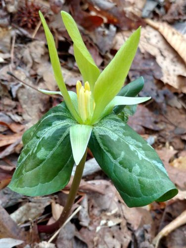 Yellow Form of Trillium cuneatum or T. luteum? Note yellow ovary