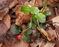 Partridge Berry (Mitchella repens) Berry