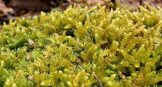 Possibly a Spoon Moss (Bryoandersonia sp.)