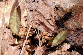 Teeny, Tiny Dimpled Trout Lily (Erythronium umbilicatum) Leaves