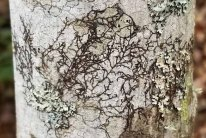 Tree Liverwort (Frullania sp.)