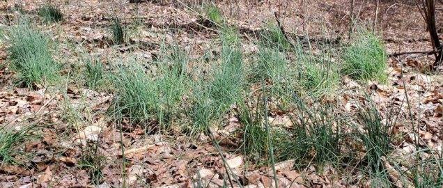 Wild Onions (Allium sp.)