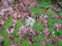 Doll's Eyes; White Baneberry (Actaea pachypoda)