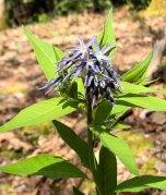 Blue Star; Blue Dogbane (Amsonia tabernaemontana)