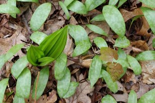 Appalachian Bunchflower (Veratrum parviflorum) & Dimpled Trout Lily (Erythronium umbilicatum) Combo