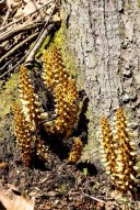 Bear Corn (Conopholis americana)