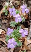 Birdfoot Violet (Viola pedata) along Persimmon Ridge Road