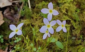 Bluets; Quaker Ladies; Innocence (Houstonia caerulea)