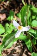 Catesby's Trillium (Trillium catesbaei)