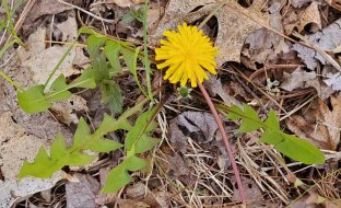 Taraxacum officinale* (Common Dandelion)
