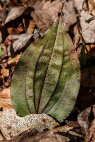 Cranefly Orchid (Tipularia discolor)