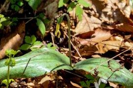 Dimpled Trout Lily (Erythronium umbilicatum ssp. umbilicatum)