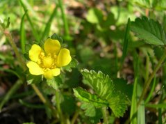 Indian Strawberry (Duchesnea indica*)