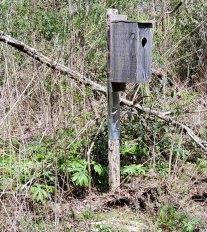 Duck House & May Apple; Mandrake (Podophyllum peltatum)