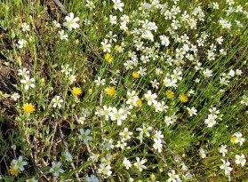 Dwarf Dandelion (Krigia virginica) & Appalachian Sandwort (Minuartia glabra)
