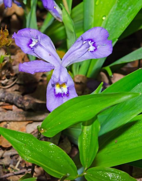 Dwarf Iris (Iris verna v. smalliana)