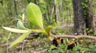 Dwarf Paw Paw (Asimina parviflora)