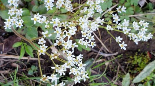 Early Saxifrage (Micranthes virginiensis)
