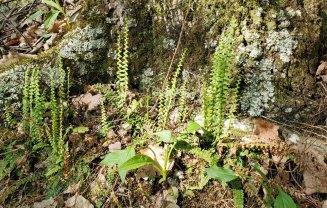 Ebony Spleenwort (Asplenium platyneuron)