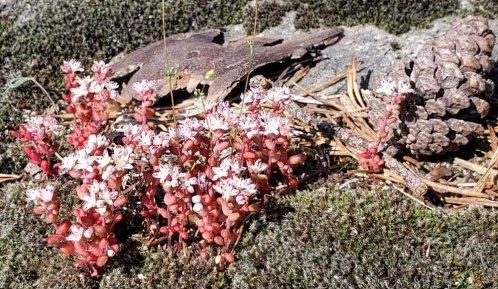 Elf Orpine (Diamorpha smallii)