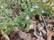 Giant or Star Chickweed (Stellaria pubera)