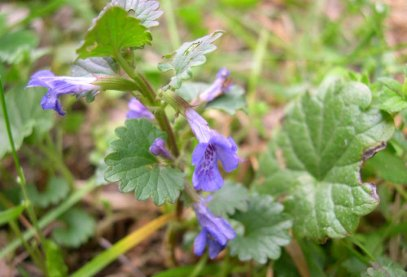 Gill-over-the-Ground; Ground Ivy (Glechoma hederacea*)