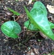 Dwarf-flowered Heartleaf (Hexastylis naniflora)