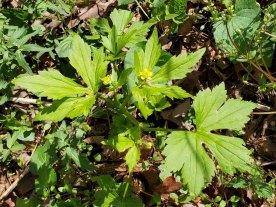 Hooked Buttercup (Ranunculus recurvatus)