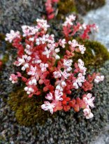 Elf Orpine (Diamorpha smallii)