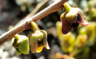 Asimina parviflora (Dwarf Pawpaw)