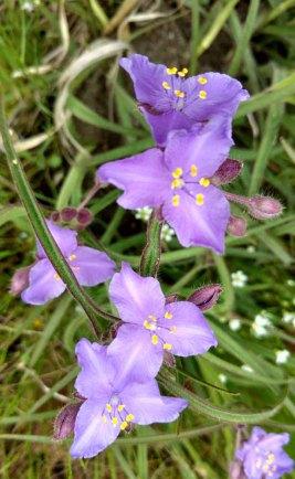 Tradescantia hirsuticaulis (Hairy Spiderwort)