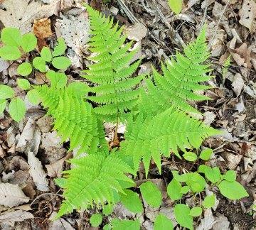 Marginal Wood Fern (Dryopteris marginalis)