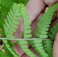 Marginal Wood Fern (Dryopteris marginalis) Sori