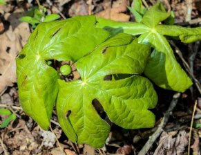 May Apple (Podophyllum peltatum)