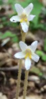One-flowered Cancer Root (Orobanche uniflora)