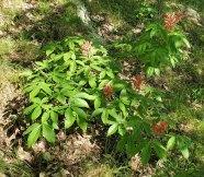 Painted Buckeye (Aesculus sylvatica)