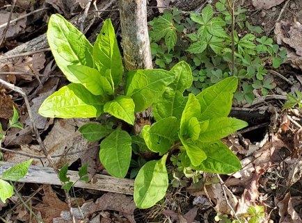 Pokeweed (Phytolacca americana)