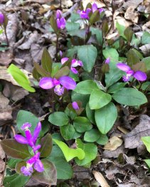 Gay Wings; Fringed Polygala (Polygala paucifolia)