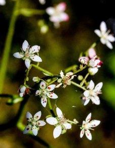 Possibly Carey's Pseudosaxifrage (Micranthes careyana)