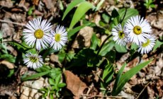 Robin's Plantain (Erigeron pulchellus var. pulchellus)