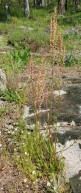 Sheep Sorrel (Rumex acetosella*)