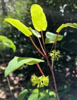 Biltmore Carrion Flower; Upright Smilax (Smilax biltmoreana)
