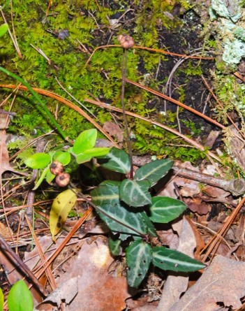Spotted Wintergreen (Chimaphila maculata)