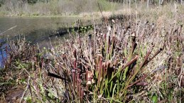 Sweet Pitcher Plant (Sarracenia rubra ssp. jonesii)