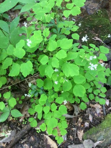 Mountain Meadow Rue; Lady Rue (Thalictrum clavatum)