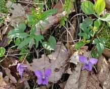 Three-lobed Violet (Viola palmata)