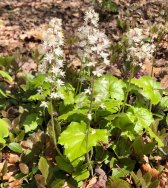 Foamflower; False Miterwort (Tiarella cordifolia)