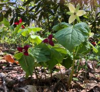 Wake Robin (Trillium erectum) - Red & White etals